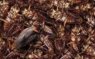 Какое средство от домашних тараканов самое лучшее, эффективное и безопасное